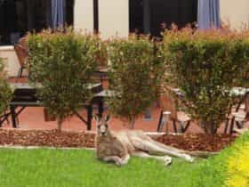 Kangaroo lying on the grass outside one of the rooms