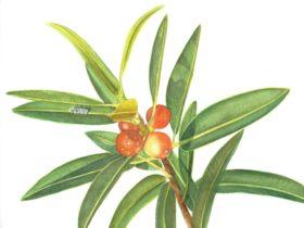 Artwork by the ANBG's Friends Botanic Art Group