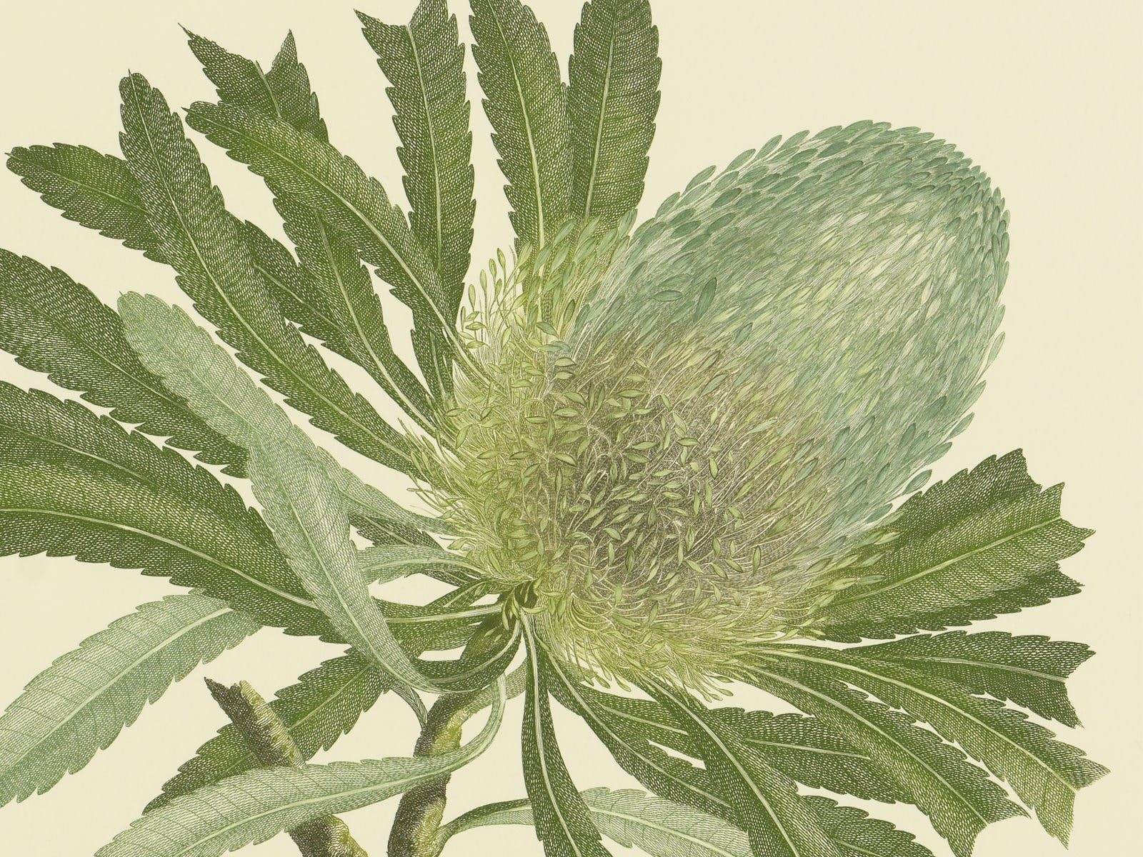 Detail from Banks' Florilegium, Banksia serrata (Proteaceae), 1983.