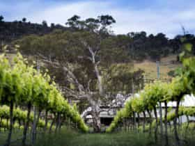 Photo of green vines looking back towards the hill