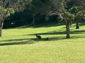 Kangaroos on the ajoining golf course