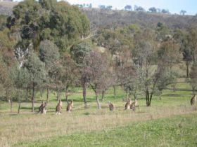 Kangaroos, Bathurst, boundary road reserve, Bushwalking