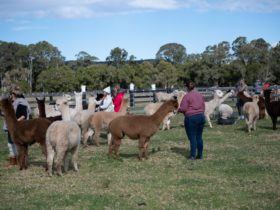 Farm Visit with Alpacas – Iris Lodge Alpacas