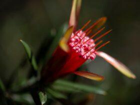 Mountain Devi at the Kur-ring-gai Wildflower Garden
