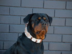 Dog wearing Rogue Royalty Premium Grade Collar