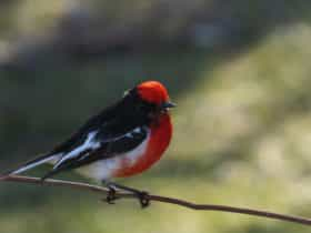 Red-capped Robin in Grenfell NSW