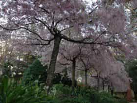 Weeping cherries in September