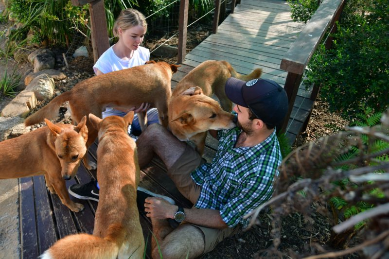Visitors with Dingoes