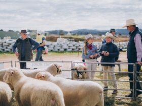 Sheep dorset school