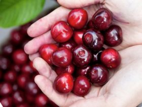 Pick Your Own Cherries at 10s Estate