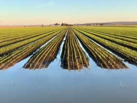 Irrigating broadacre rice on beds. An innovatory development for rice production in Australia.