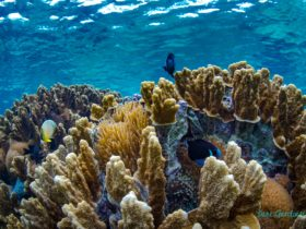 Lord Howe Island & surrounding waters are surrounded by 500 species of fish & 90 coral species.