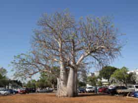 Old Boab Tree in Cavenagh Street