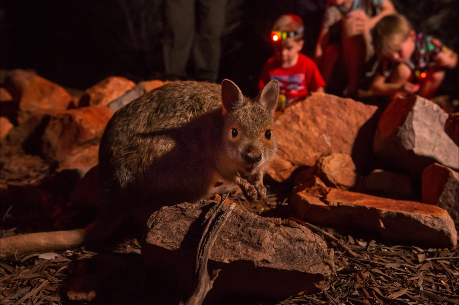 Spectacled hare-wallaby up close