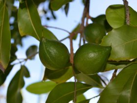 Photo showing green macadamias hanging on a tree