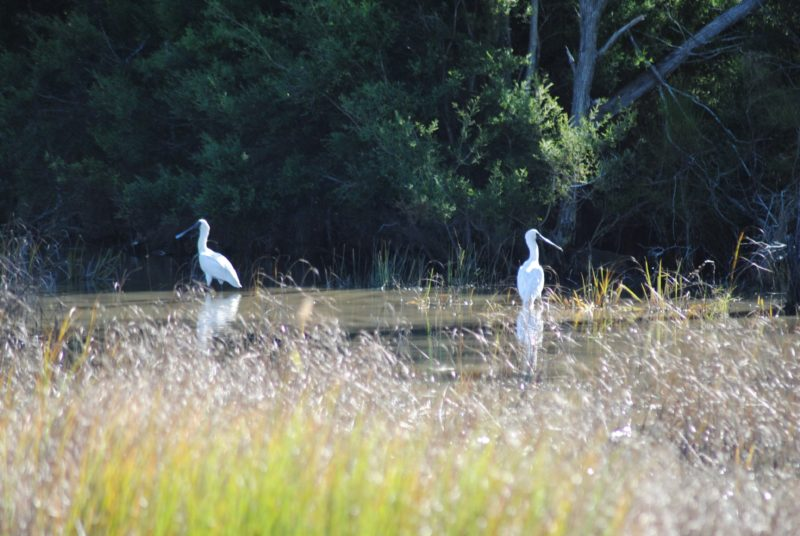 photo of two shore birds wading in a waterway at Burrum Heads