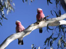 Bird Watching in the Goondiwindi Region