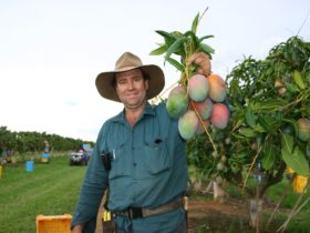 Property owner picked and holding up mangoes