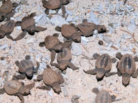Tiny turtle hatchlings with brown and black patterns on their shells moving over rock and sand.