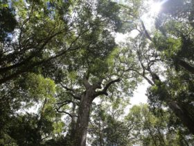 photo looking up through rainforest canopy