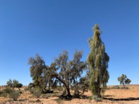 Waddi Trees