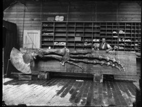 Image credit: Sperm Whale flipper, Megaptera longimana. Photo © Australian Museum.