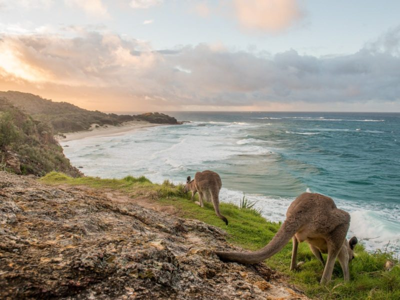 Kangaroos on the headland at Point Lookout overlooking Frenchmans Beach