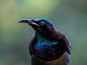 Victoria's Riflebird showing off its wonderful colours