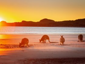 Kangaroos on the beach at sunrise tour