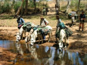Watering the donkey pack team at a waterhole along the Walsh River during a Kennedy Retrace Trek.