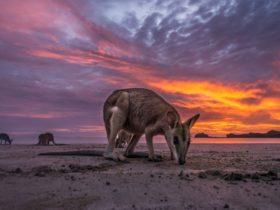 Kangaroo at Cape Hillsborough