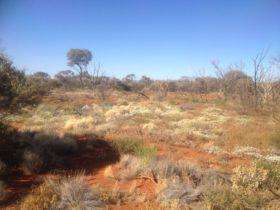 The vast vegetated dunes of Tallaringa Conservation Park