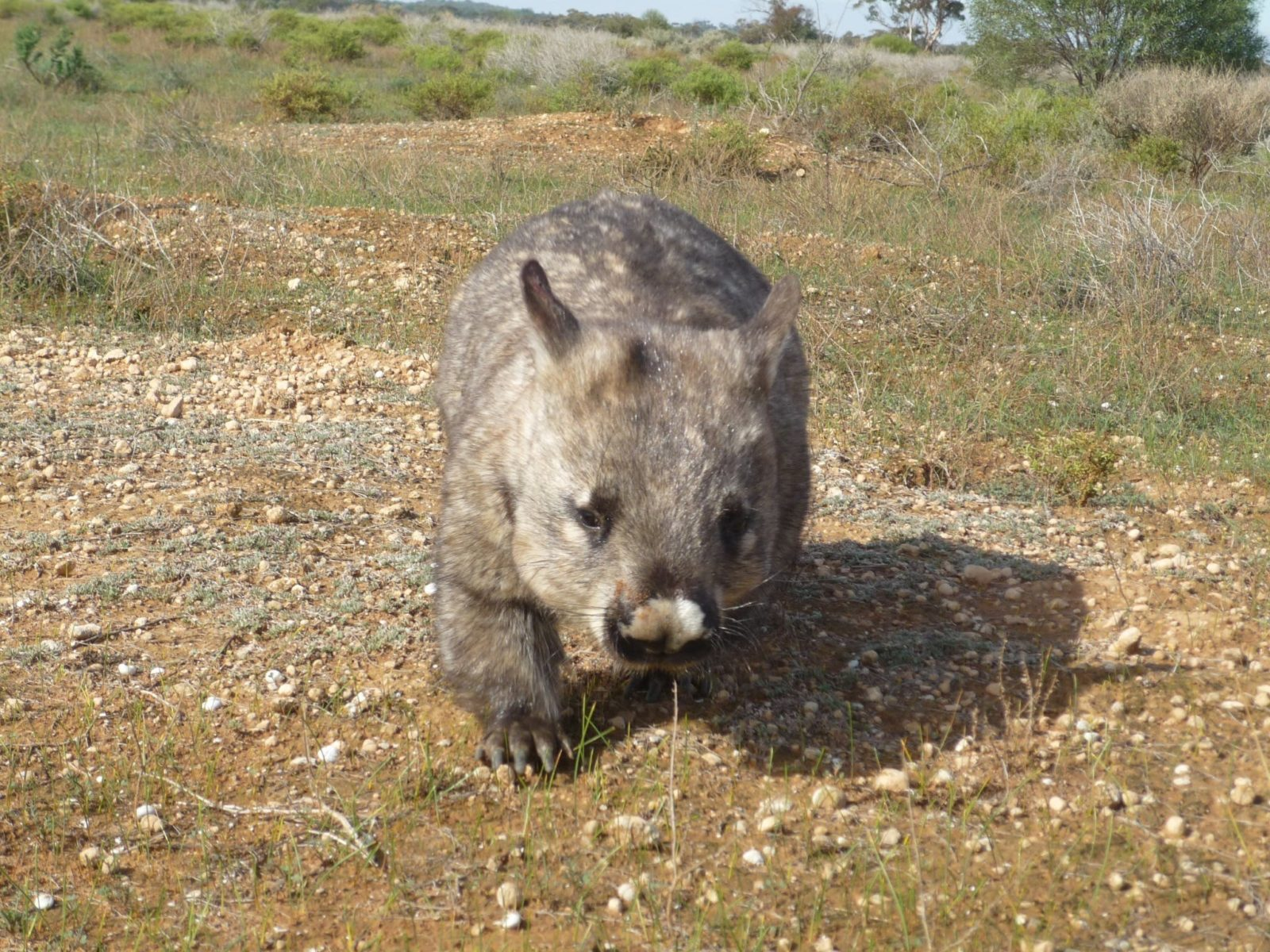 The southern hairy-nosed Wombat is a resident of Brookfield Conservation Park