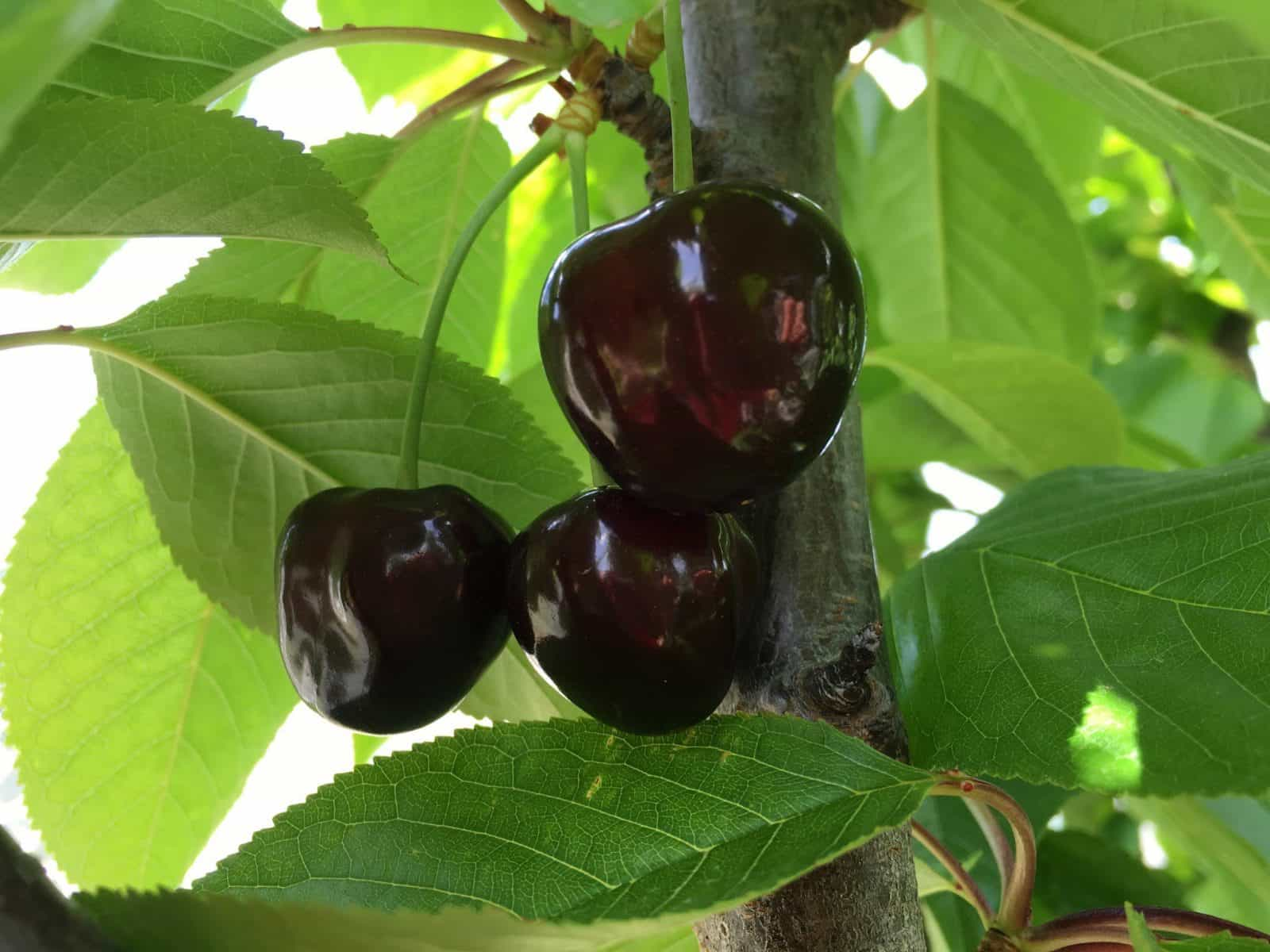 Farm fresh cherries, picked when fully ripe from the trees, packed and ready for you to enjoy
