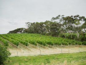 View of lush rows of grape vines on a hill with gum trees in the background