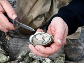 shucked pacific oyster