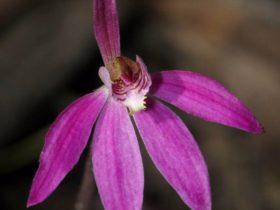 Robust Finger orchid