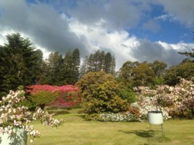 Rows of heritage rhododendrons , some 8m in height, are possibly the oldest and largest in Australia