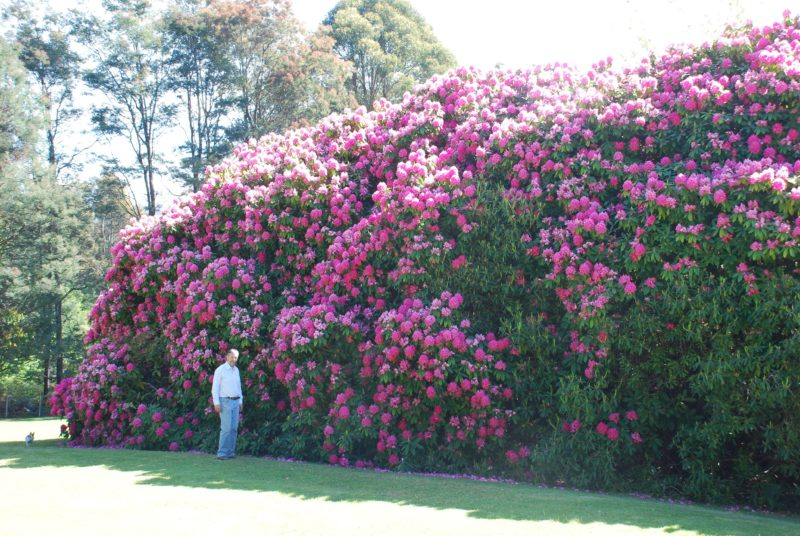 Heritage rhododendrons blooming late October. These are 8m high, possibly the largest in Australia