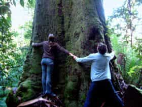 60 metre tall old growth forest