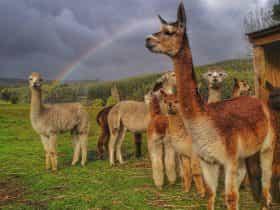 Herd of alpacas in paddock with rainbow.