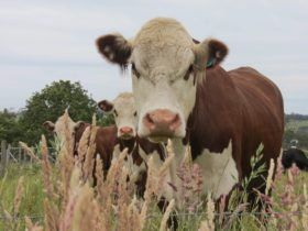 Brown and white cattle, farmland