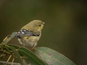 Forty-spotted Pardalote perched in tree foliage