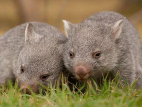 Orphan wombat joeys on Flinders Island
