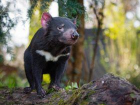 A Tasmanian Devil surveys its habitat