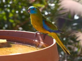 Male Turquoise Parrot enjoying a drink a one of several water points off the verandah.