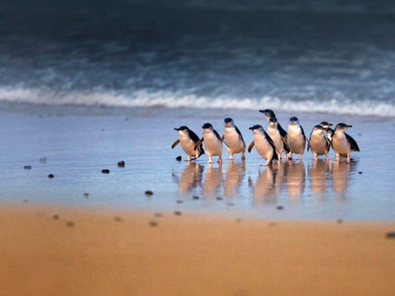 A group of penuins walking together on a beach in Phillip Island