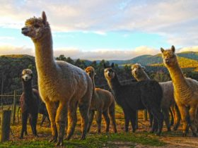 Alpacas come to the windows at Valley Farm