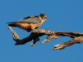 Peregrin falcon are sighted often.