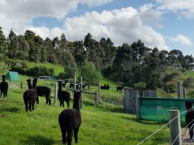 Black Alpacas at Clifden Farm
